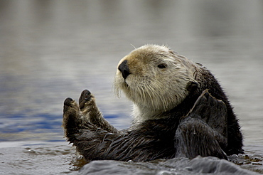 Sea otter (enhydra lutris), monterey, usa, close, up in water.