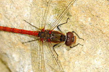 Common Darter Dragonfly (Sympetrum striiolatum) close-up of head and thorax from above, Oxfordshire, UK