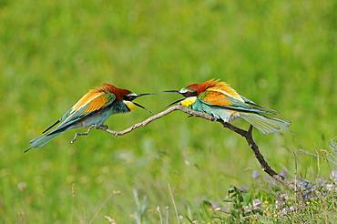 European Bee-eater (Merops apiaster) pair squabbling on branch, Bulgaria