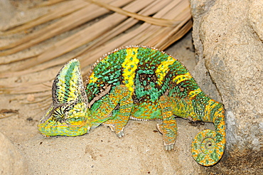 Veiled chameleon (chamaeleo calyptratus) ground dwelling desert chameleon, native to yemen