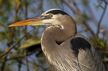 Great blue heron. Ardea herodias. Close-up of head and neck. Florida, usa