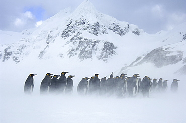 King penguins (aptenodytes patagonicus) right whale bay, south georgia, group huddled together in blizzard