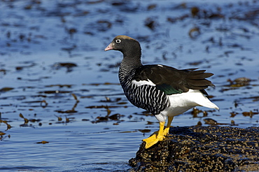 Kelp goose (chloephaga hybrida) female, falkland islands