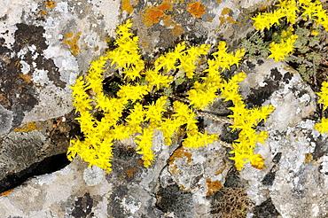 Goldmoss or Biting Stonecrop (Sedum acre) growing between lichen covered rocks, Bulgaria