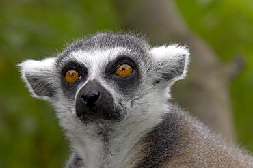 Ring-tailed lemur (lemur catta) native of madagascar (captive bristol zoo).