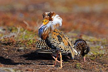 Ruff (philomachus pugnax) male displaying at lek, in breeding plumage, varanger, norway