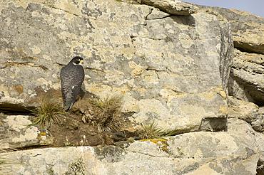 Cassins peregrine falcon (falco peregrinus cassini) new island, falkland islands, perched on cliff face.