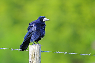 Rook (corvus frugilegus) perched on fence post, oxfordshire, uk