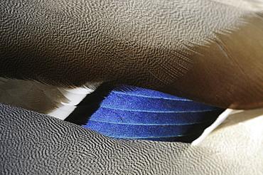 Mallard (anas platyrhynchos) drake, close-up of blue wing feathers, oxfordshire, uk