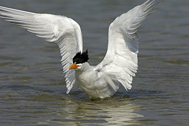 Royal tern (sterna maxima) florida, usa, about to take off from water.