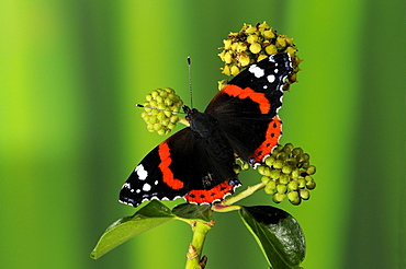 Red admiral butterfly (vanessa atalanta) resting on ivy flowers, wings outspread, oxfordshire, uk