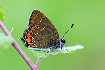 Black hairstreak butterfly (satyrium pruni) adult at rest on blackthorn leaf, uk