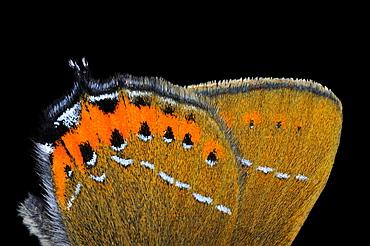 Black hairstreak butterfly (satyrium pruni) close-up view of underside of wings, uk