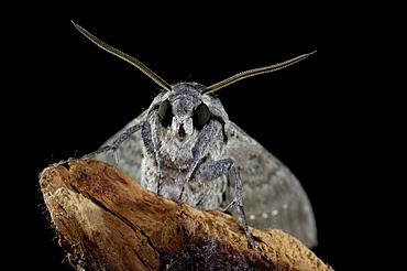 Convolvulus hawkmoth (agrius convolvuli) close-up of head and antennae, uk