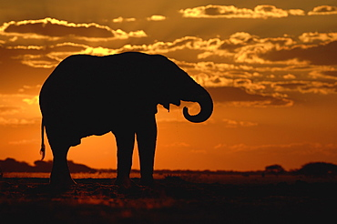 African elephant. Loxodonta africana. Sihouette,drinking at sunset. Savuti, botswana