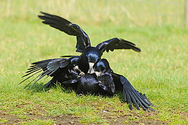 Rook (corvus frugilegus) several males trying to mate with a female, oxfordshire, uk