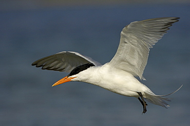 Royal tern (sterna maxima) florida, usa, in flight.