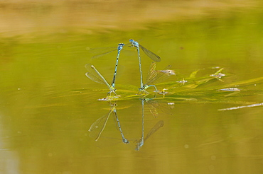 Common blue damselfly (enallagma cyathigerum) egg laying on water surface, oxfordshire, uk