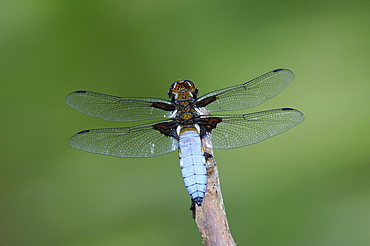 Broad-bodied chaser dragonfly (libellula depressa) male at rest on twig, oxfordshire, uk
