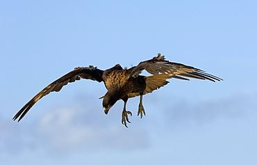 Striated caracara (phalcoboenus australis) new island, falkland islands, in flight, about to land.