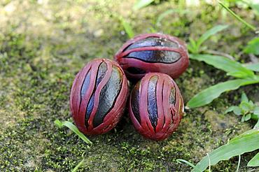 Nutmeg (myristica fragrans) ripe fruit covered in mace, trinidad