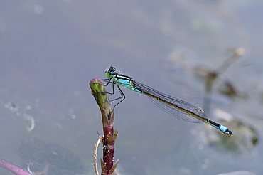 Blue-tailed damselfly (ischnura elegans) female at rest, oxfordshire, uk