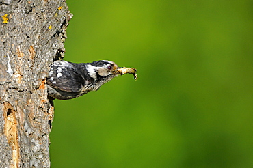 Lesser Spotted Woodpecker (Dendrocopos minor) female leaving nest hole with debris, Bulgaria