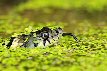 Grass snake (natrix natrix) head raised above water, covered in duckweed, tongue out, oxfordshire, uk