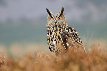 European eagle owl (bubo bubo) perched in heather, looking alert, scotland, captive