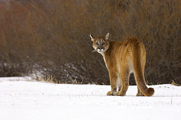 Puma or mountain lion (felis concolor) standing on snow looking back, captive.