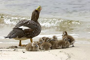Flightless steamer duck (tachyceres brachypterus) new island, falkland islands, mother calling, with group of chicks sat on beach.