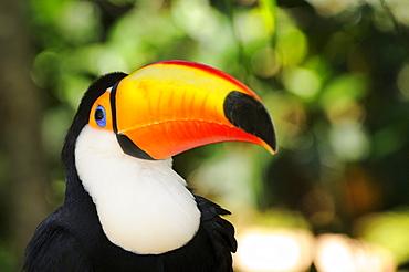 Toco toucan (ramphastos toco) iguacu, brazil
