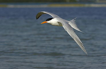 Royal tern (sterna maxima) florida, usa, in flight over water.
