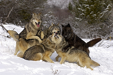 Pack of timber wolves (canis lupus) asserting hierarchy, captive