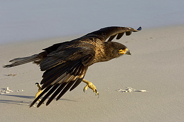 Striated caracara (phalcoboenus australis) new island, falkland islands, running along the beach, wings outstretched.