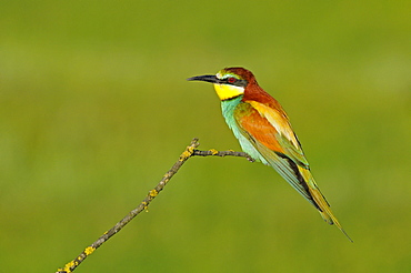European Bee-eater (Merops apiaster) perched on twig, Bulgaria