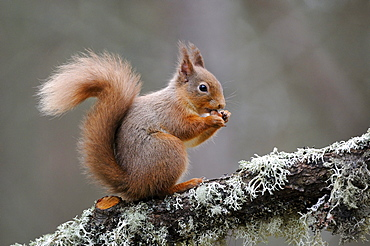 Red squirrel (sciurus vulgaris) feeding on nut, cairngorms, scotland