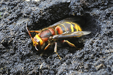 European hornet (vespa crabro) hibernating queen, oxfordshire, uk