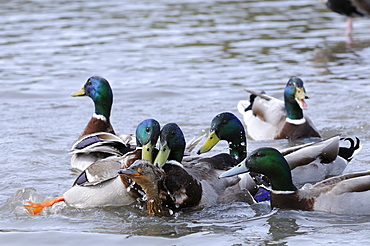 Mallard (anas platyrhynchos) several males trying to mate with one female, slimbridge, uk