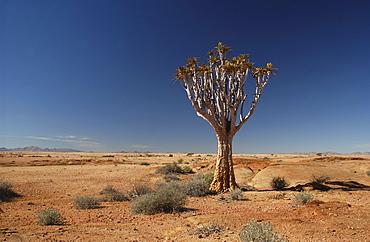 Lone quiver tree or kokerboom (aloe dichotoma) in desert environment, namibia.