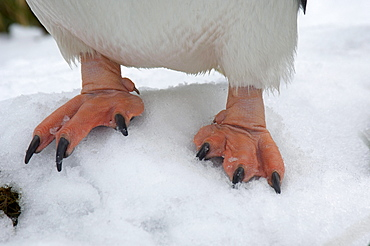 Gentoo penguin (pygoscelis papua) ocean harbour, south georgia, standing on snow, close-up of feet.