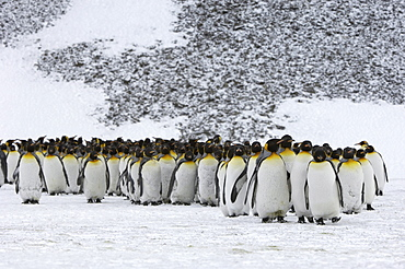 King penguins (aptenodytes patagonicus) right whale bay, south georgia, large group in snowy landscape