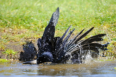 Rook (corvus frigulegus) bathing in water, oxfordshire, uk