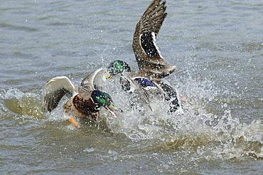 Mallard (anas platyrhynchos) two males fighting in the water, slimbridge, uk