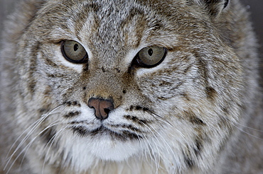Close, up of bobcat (lyns rufus) face, captive.