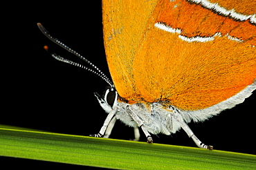 Brown hairstreak butterfly (thecla betulae) resting on blade of grass, oxfordshire, uk
