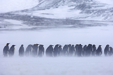 King penguins (aptenodytes patagonicus) right whale bay, south georgia, group in snowstorm