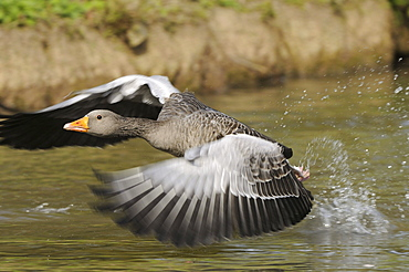 Greylag goose (anser anser) taking off from water, oxfordshire, uk