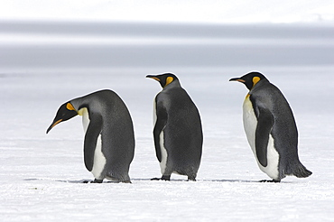 King penguins (aptenodytes patagonicus) right whale bay, south georgia, three together on the snow