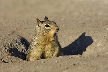 Californian ground squirrel. Spermophilus beecheyi. Calling at entrance to burrow. Monterey bay, usa